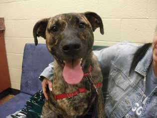 German Shepherd Dog-Plott Hound Mix Dog For Adoption in Decatur, GA
