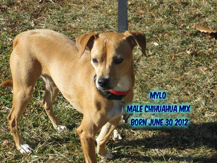 Chihuahua Mix Dog For Adoption in Huddleston, VA, USA