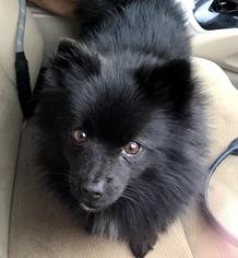 Pomeranian Dog For Adoption in Candler, NC, USA