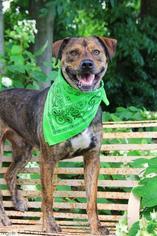 Catahoula Leopard Dog-Rottweiler Mix Dog For Adoption in Nashville, TN