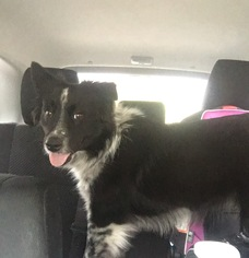 Border Collie Mix Dog For Adoption in Houston, TX, USA
