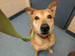 View Ad: American Pit Bull Terrier-Chow Chow Mix Dog for