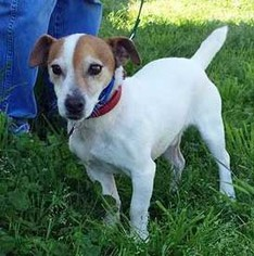 Jack Russell Terrier Dog For Adoption in Moorpark, CA