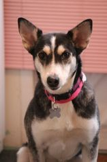Border Collie-Husky Mix Dog For Adoption in Gilbertsville, PA