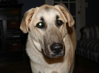 Anatolian Shepherd Dog For Adoption in Mesa, AZ