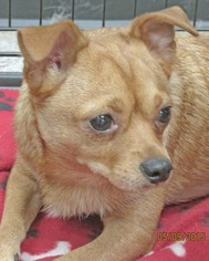 Chihuahua Mix Dog For Adoption in Conroe, TX, USA