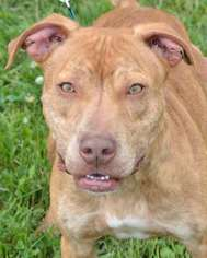 American Pit Bull Terrier-American Staffordshire Terrier Mix Dog For Adoption in Mt Vernon, IN