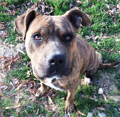 Bullboxer Pit Dog For Adoption in Monroe, NC, USA
