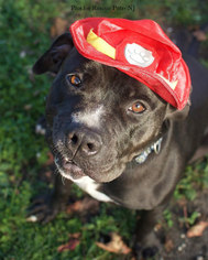 American Pit Bull Terrier-Labrador Retriever Mix Dog For Adoption in Spring Lake, NJ