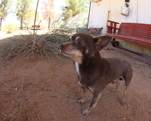 Chihuahua Dog For Adoption in Las Cruces, NM, USA