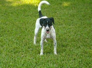 Parson Russell Terrier Mix Dog For Adoption in Rayville, LA, USA