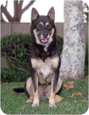 German Shepherd Dog Mix Dog For Adoption in Marina del Rey, CA, USA