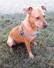Vizsla Dog For Adoption in Denton, TX, USA