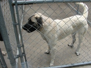 Anatolian Shepherd-Labrador Retriever Mix Dog For Adoption in Mesa, AZ