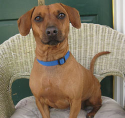 Dachshund Mix Dog For Adoption in Encino, CA, USA