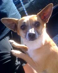 Chi-Corgi Dog For Adoption in Porter Ranch, CA, USA