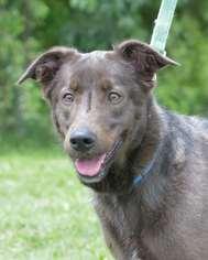 Labrador Retriever Mix Dog For Adoption in Mt Vernon, IN
