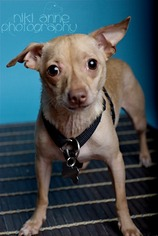Chihuahua Dog For Adoption in Florence, AL