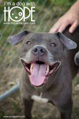 American Staffordshire Terrier Dog For Adoption in Alton, IL, USA