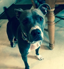 American Pit Bull Terrier Mix Dog For Adoption in Gilbertsville, PA, USA