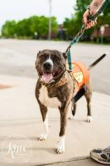 American Pit Bull Terrier Dog For Adoption in Maple Grove, MN, USA