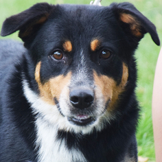 Border-Aussie Dog For Adoption in Huntley, IL, USA