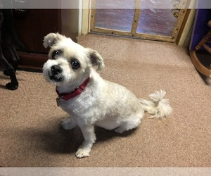 Small Jack Russell Terrier-Shih Tzu Mix