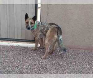 Australian Cattle Dog Dogs for adoption in Santa Fe, NM, USA