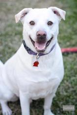 Husky Mix Dog For Adoption in Houston, TX, USA