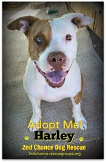 American Staffordshire Terrier Mix Dog For Adoption in Queen Creek, AZ, USA