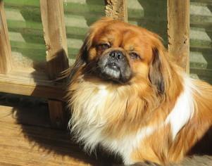 Puppyfinder.com: Pekingese dogs for adoption near me in ...
