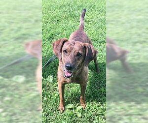 Plott Hound-Unknown Mix Dogs for adoption in Monterey, VA, USA