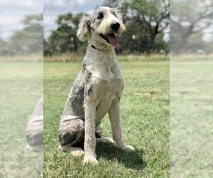 Old English Sheepdog Dogs for adoption in PIPE CREEK, TX, USA