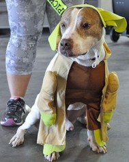 Bullboxer Pit Dog For Adoption in Dallas, TX