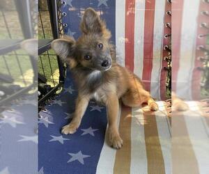 Dameranian Dogs for adoption in Garland, TX, USA