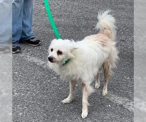 Small American Eskimo Dog