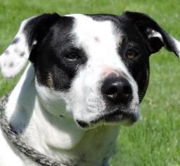 Pointer Mix Dog For Adoption in Nashville, IN