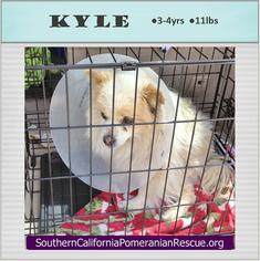 Pomeranian Dog For Adoption in Irvine, CA, USA