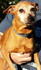 Miniature Pinscher Mix Dog For Adoption in Raleigh, NC