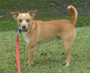 Chihuahua Mix Dog For Adoption in Fairmont, WV, USA
