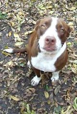 American Pit Bull Terrier Mix Dog For Adoption in Denton, TX, USA