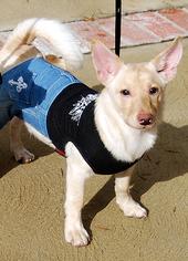 Pomeranian Mix Dog For Adoption in Irvine, CA, USA