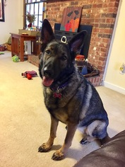 German Shepherd Dog Dog For Adoption in Morrisville, NC