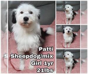 Old English Sheepdog Dogs for adoption in Seattle, WA, USA