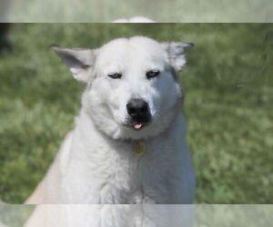 Alusky Dogs for adoption in Walnut Creek, CA, USA