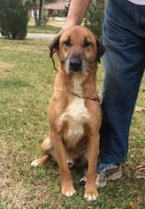 Catahoula Leopard Dog-German Shepherd Dog Mix Dog For Adoption in Slidell, LA, USA