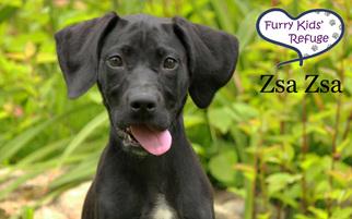 View Ad Labmaraner Dog For Adoption Missouri Lee S Summit Usa