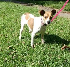 Whippet Dog For Adoption in Baton Rouge, LA, USA