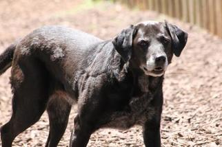Labrador Retriever Mix Dog For Adoption in Temple, GA