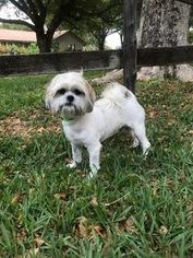 Lhasa Apso Dog For Adoption in Davie, FL, USA